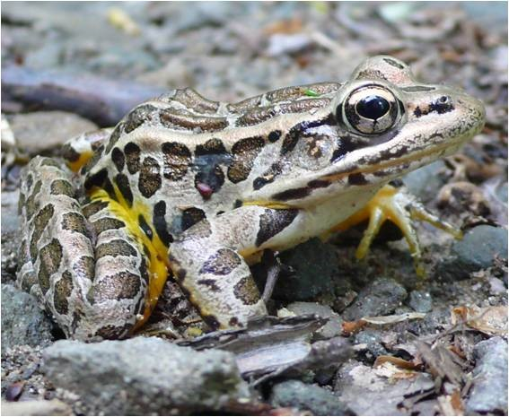 Pickerel frog from the DEC.