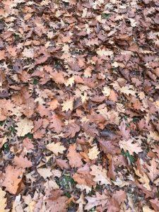 Blanket of oak leaves