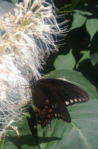 Eastern black swallowtail on bottlebrush buckeye, photo by Cheryl Alloway