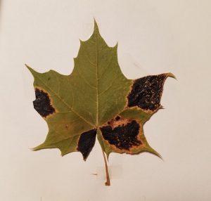 Norway Maple Tar Spot