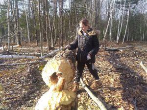 Felled Beaver Tree