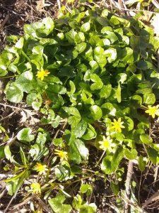 Lesser Celandine at the Nyquist-Harcourt Nature Sanctuary