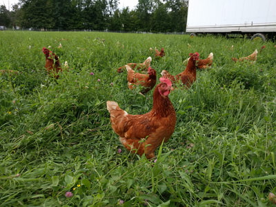Old Ford Farm Chickens