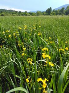 Yellow Irises by Rosalie Oceanna-Kolb