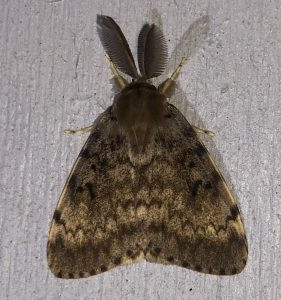 An adult gypsy moth against a white-painted background. The prominent fuzzy antennae at the top dwarf the head of the insect, while the drab brown and tan markings on the fuzzy wings are apt camouflage on a different surface.
