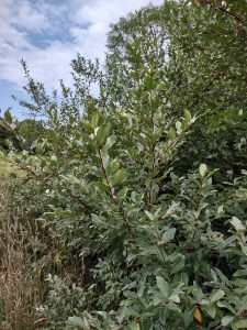 The upright branches of the autumn-olive, showing the silvery, upright, sturdy leaves.