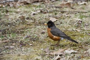 A robin stands on some scrubby dirt. The adult bird has its forehead feathers raised and is eyeing the camera.
