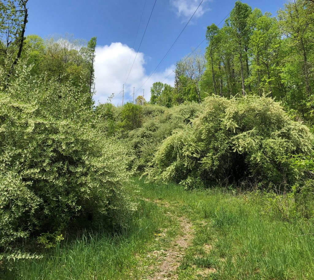 Enormous, maybe 20 foot wide autumn olive shrubs in full bloom dominate what would have been an open area of Joppenbergh. A dirt path winds between the shrubs, and the green grass and blue sky show it to be a beautiful spring day for a hike.