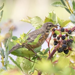 A young robin stands in the branches of a blackberry plant, leaning towards a cluster of ripe berries.