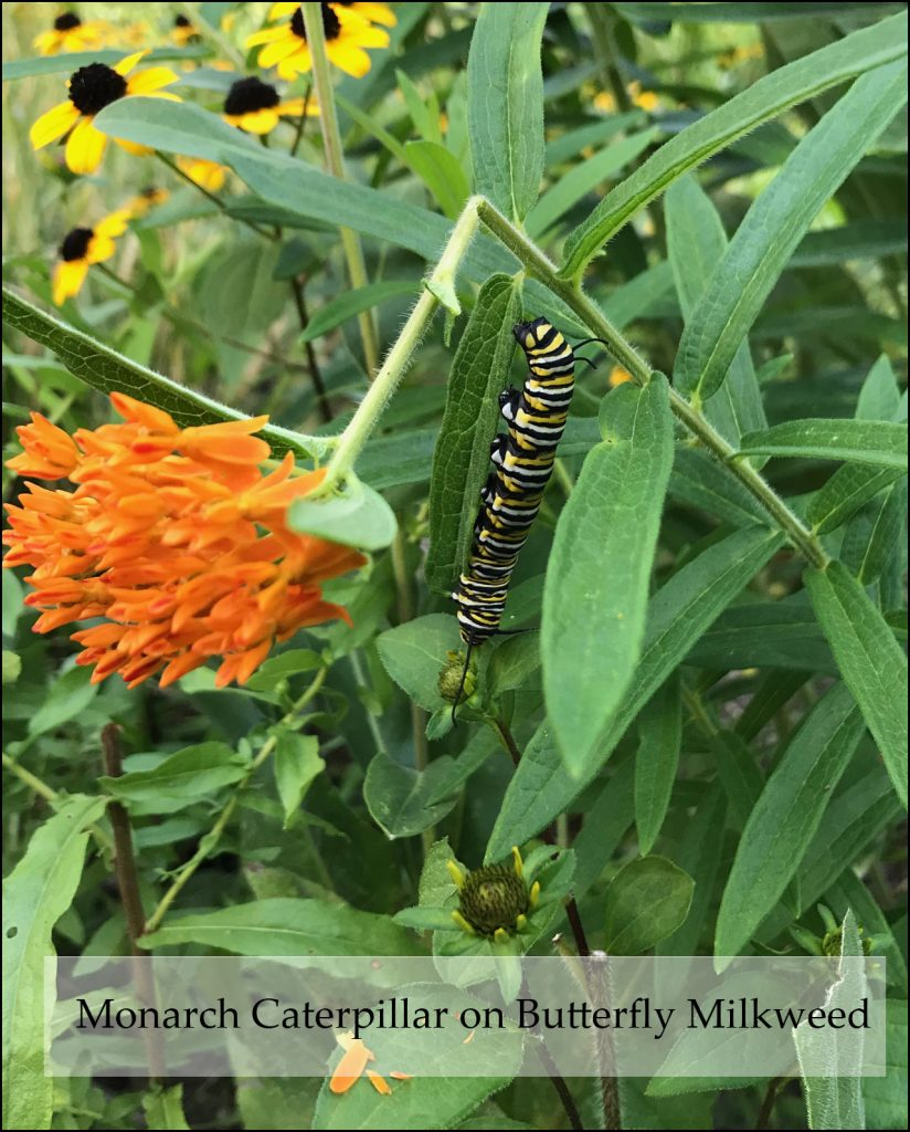 Monarch caterpillar on butterfly weed with orange flower