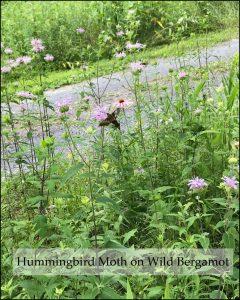 Hummingbird moth alighting on bergamot flower