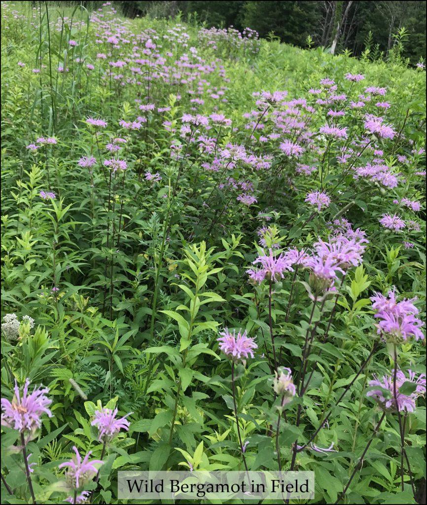 Purple flowers of Wild Bergamot in a field