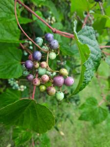 Photo of non native multicolored berries
